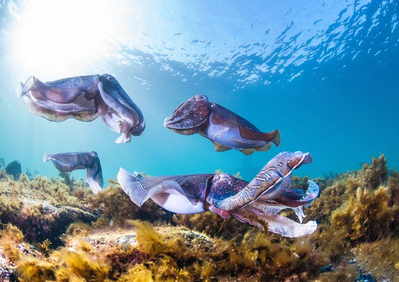 image of famous cuttlefish clusters in Whyalla
